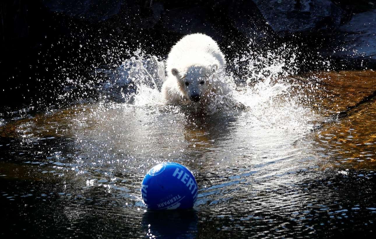 Τρίτη 2 Απριλίου, Γερμανία. «Χέρτα» βαφτίστηκε το θηλυκό αρκουδάκι, στον Ζωολογικό Κήπο Tierpark στο Βερολίνο