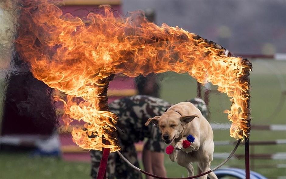 Παρασκευή, 5 Απριλίου, Νεπάλ. Στρατιωτικός σκύλος πηδάει μέσα από ένα φλεγόμενο δαχτυλίδι, κατά την διάρκεια φεστιβάλ ιπποδρομιών