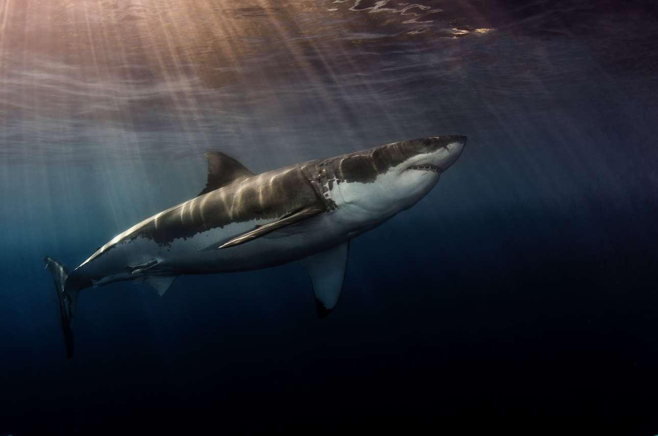 Νικητής στην κατηγορία Καρχαρίες. Ακτίνες του απογευματινού ήλιου πέφτουν πέφτουν πάνω στον εικονιζόμενο μεγάλο λευκό καρχαρία, στη Γουαδελούπη