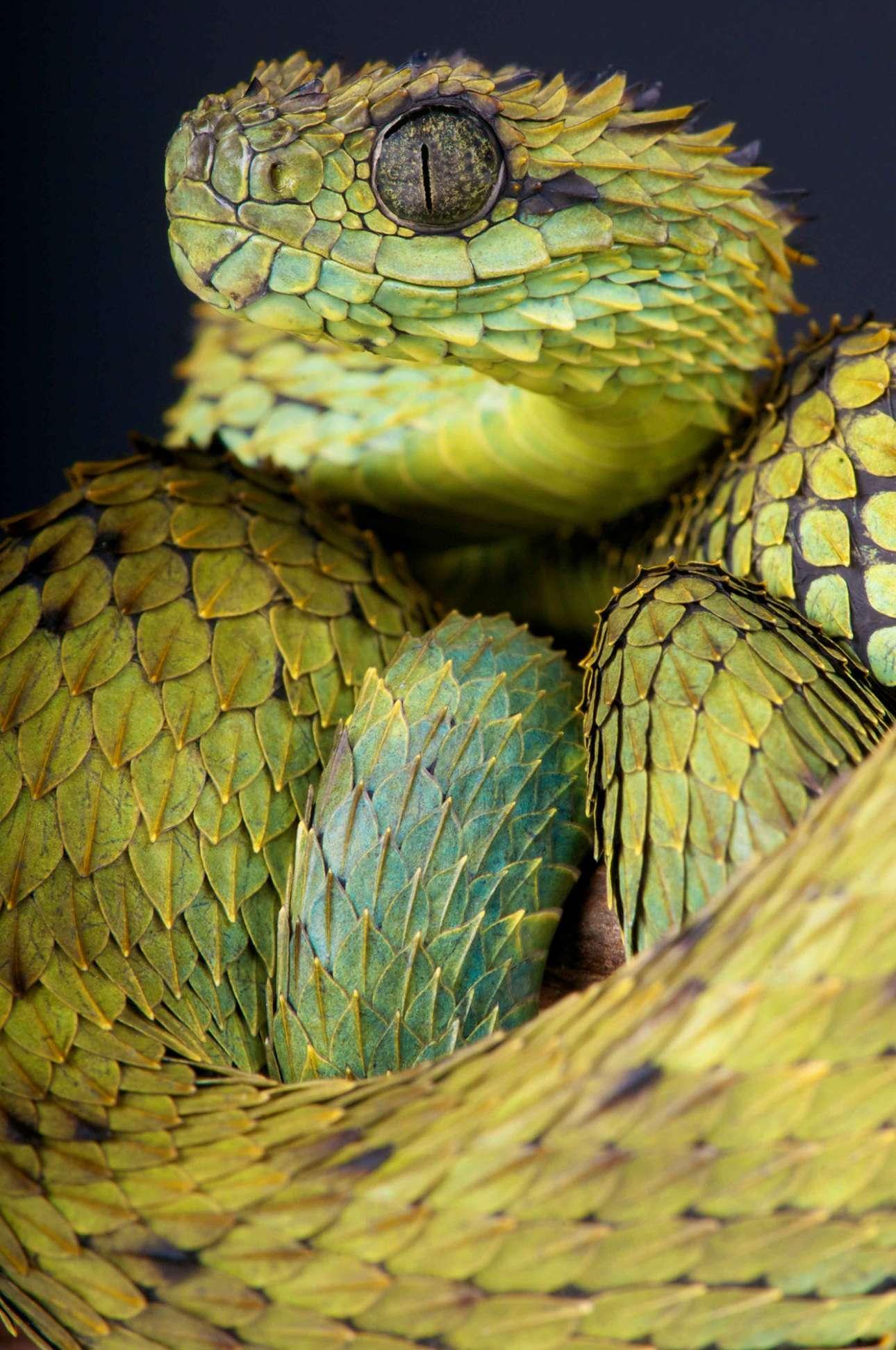Η δηλητηριώδης οχιά Atheris hispida με τα πολύ έντονα «λέπια» που θυμίζουν φύλλα
