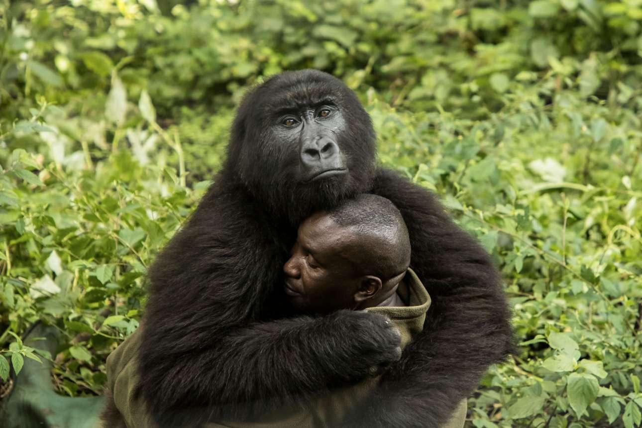 «Το ανθρώπινο άγγιγμα», βραβείο στην κατηγορία Ανθρωπος/Φύση. Ο Αντρέ Μπούμα, ο επικεφαλής φροντιστής του Κέντρου Senkwekwe για ορφανούς γορίλες στο Εθνικό Πάρκο Βιρούνγκα του Κονγκό ρισκάρει καθημερινά τη ζωή του για να προστατεύσει τα ζώα. Τα τελευταία χρόνια 170 φύλακες έχουν σκοτωθεί, ενώ συχνά το πάρκο δέχεται επιθέσεις από επαναστάτες. Ωστόσο, σε καμία περίπτωση ο Μπούμα δεν εγκαταλείπει τους γορίλες του κέντρου. «Οι φροντιστές και οι ορφανοί γορίλες είμαστε οικογένεια. Ξέρουν ότι είμαστε οι μαμάδες τους» λέει ο ίδιος