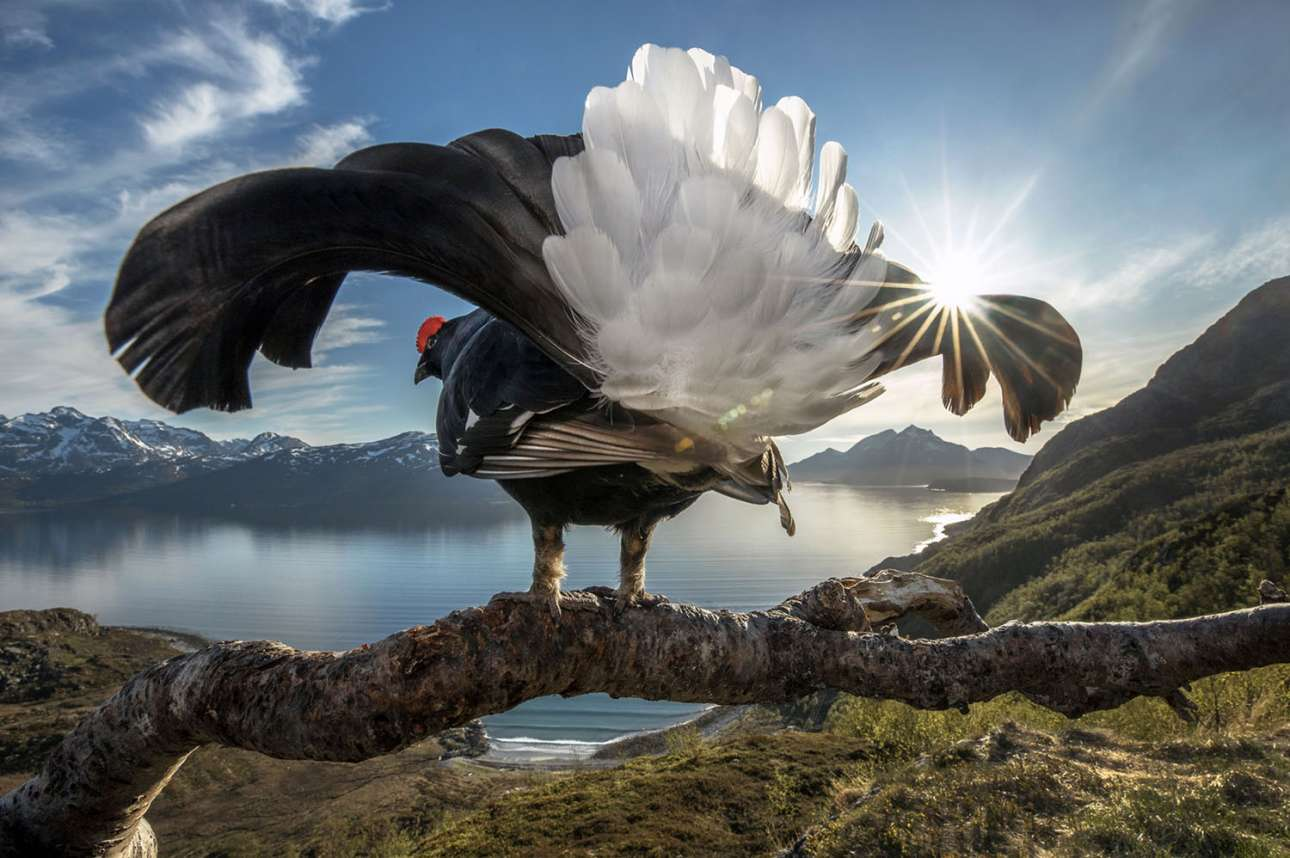 Μεγάλος νικητής του διαγωνισμού. Ενας αγριόγαλος θαυμάζει την εντυπωσιακή βόρεια ακτογραμμή της Νορβηγίας από ένα ψηλό κλαδί που του προσφέρει απρόσκοπτη θέα. Ο Audun Rikardsen περάσε πολλές παγωμένες ημέρες σε αυτό το σημείο φωτογραφίζοντας έναν χρυσαετό. Οταν όμως ήρθε η άνοιξη τη θέση του πήρε ο αγριόγαλος, ο οποίος γρήγορα συνήθισε την παρουσία της κάμερας και του φλας, «σαν να διασκέδαζε να είναι το κέντρο της προσοχής» λέει ο φωτογράφος