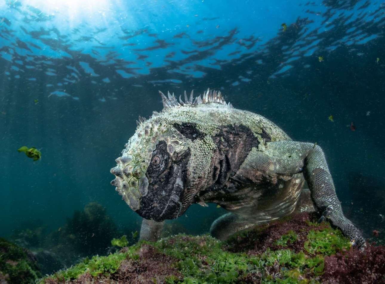 «Θαλάσσιος δράκος», βραβείο στην κατηγορία Υδρόβια Ζωή. Τα ιγκουάνα των νησιών Γκαλαπάγκος είναι τα μόνα που βουτάνε μέσα στη θάλασσα. Καθώς οι επιλογές για τροφή είναι ελάχιστες κατά μήκος των ηφαιστειακών ακτών των νησιών, τα ιγκουάνα έχουν εξελιχθεί και την αναζητούν στη θάλασσα. Με μία ανάσα κατεβαίνουν σε βάθος 25 μέτρων και τρέφονται με φύκια που μεγαλώνουν στα κρύα, πλούσια σε θρεπτικές ουσίες νερά των Γκαλαπάγκος