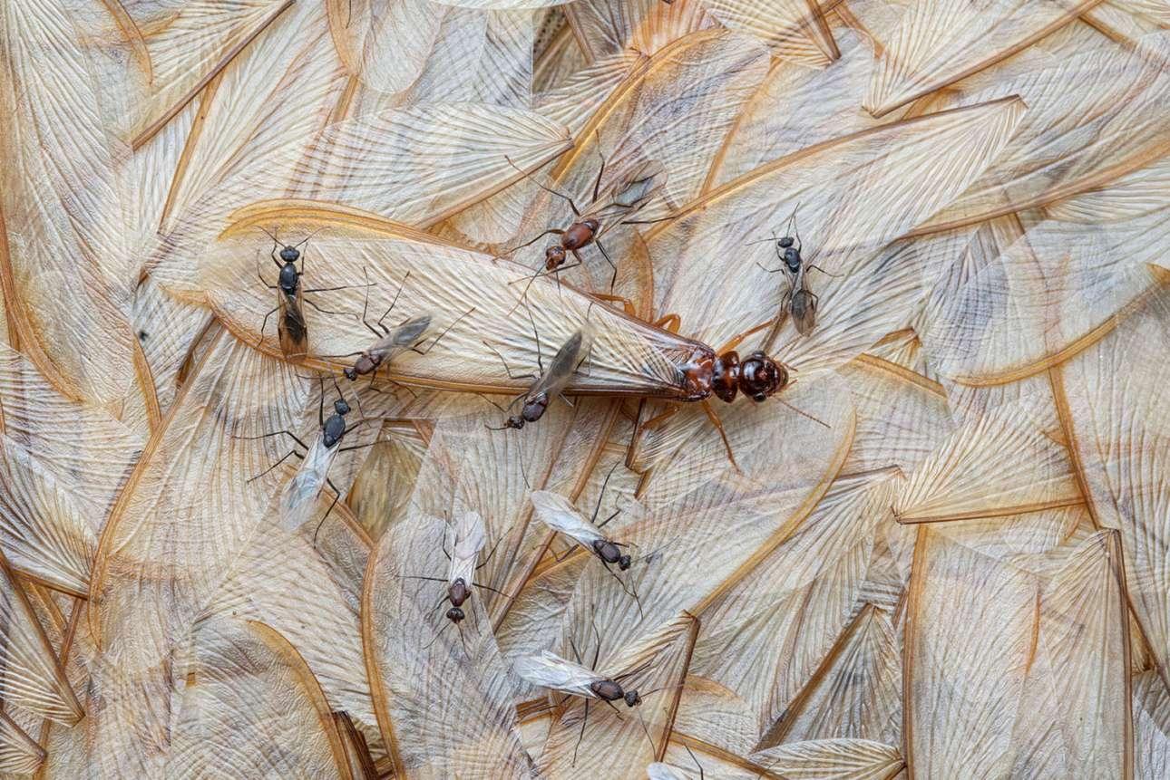 «Χάνοντας φτερά», βραβείο στην κατηγορία Φτερωτή Ζωή. Οι περισσότεροι τερμίτες στην Υποσαχάρια Αφρική είναι πλάσματα χωρίς φτερά και χωρίς μάτια, που ζουν κάτω από το έδαφος. Ωστόσο μία φορά τον χρόνο, οι βασίλισσες τερμίτες γεννούν φτερωτούς απογόνους που προορίζονται για μια διαφορετική ύπαρξη. «Οταν οι πρώτες βροχές σηματοδοτούν το τέλος της ξηράς εποχής, εκατομμύρια από αυτούς τους μηχανικούς των οικοσυστημάτων εμφανίζονται μαζικά σε μια συγχρονισμένη, μικρής διάρκειας γαμήλια πτήση. Λίγα λεπτά μετά την προσγείωση στο έδαφος, σπάζουν τα φτερά τους και αναζητούν συντρόφους» λέει ο επιστήμονας και φωτογράφος Πιότρ Νασκρέτσκι. Μέσα σε μία ημέρα το έδαφος έχει γεμίσει με πεσμένα φτερά, δημιουργώντας ένα μαλακό χαλί για άλλα πλάσματα, όπως τα μικρά φτερωτά μυρμήγκια της φωτογραφίας