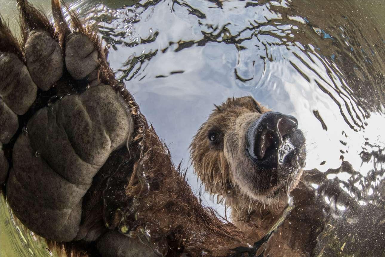 «Περιέργεια», βραβείο στην κατηγορία Επίγεια Αγρια Φύση. Μία συγκλονιστική υποβρύχια λήψη, τη στιγμή που μια πελώρια καφέ αρκούδα ψαρεύει σολομούς στον προστατευόμενο βιότοπο της Νότιας Καμτσάτκας στη Ρωσία. Ο Μιχαήλ Κοροστέλεβ βύθισε μία τηλεχειριζόμενη κάμερα και περίμενε. Σύντομα η περίεργη αρκούδα εντόπισε το ασυνήθιστο αντικείμενο που βρισκόταν στο βάθος του ποταμού και όταν άρχισε να το περιεργάζεται, ο Κοροστέλεβ τράβηξε την παραπάνω εκπληκτική φωτογραφία
