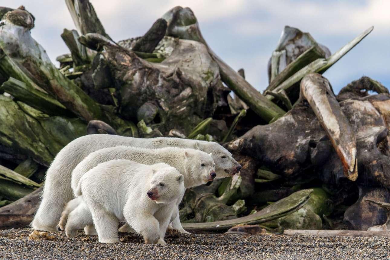«Το βαλς του νεκροταφείου οστών». Τρεις πολικές αρκούδες με ματωμένα ρύγχη από το πρόσφατο γεύμα τους, περνούν μπροστά από έναν σωρό από οστά φαλαινών στο νησί Μπάρτερ στη βόρεια πλευρά της Αλάσκας. Ως κορυφαίοι θηρευτές, οι πολικές αρκούδες είναι οι βασιλιάδες του αρκτικού οικοσυστήματος και είναι συνήθως μοναχικοί κυνηγοί, εκτός από την περίοδο μαθητείας κοντά στη μαμά, όπως τα αδέλφια της φωτογραφίας. Στο τέλος, τα μικρά θα βγουν μόνα τους για να περιπολήσουν στο κοντινό Kαταφύγιο Aγριας Zωής της Αρκτικής, μια περιοχή άγριας φύσης που καταλαμβάνει περισσότερα από 48.000 τετραγωνικά χιλιόμετρα