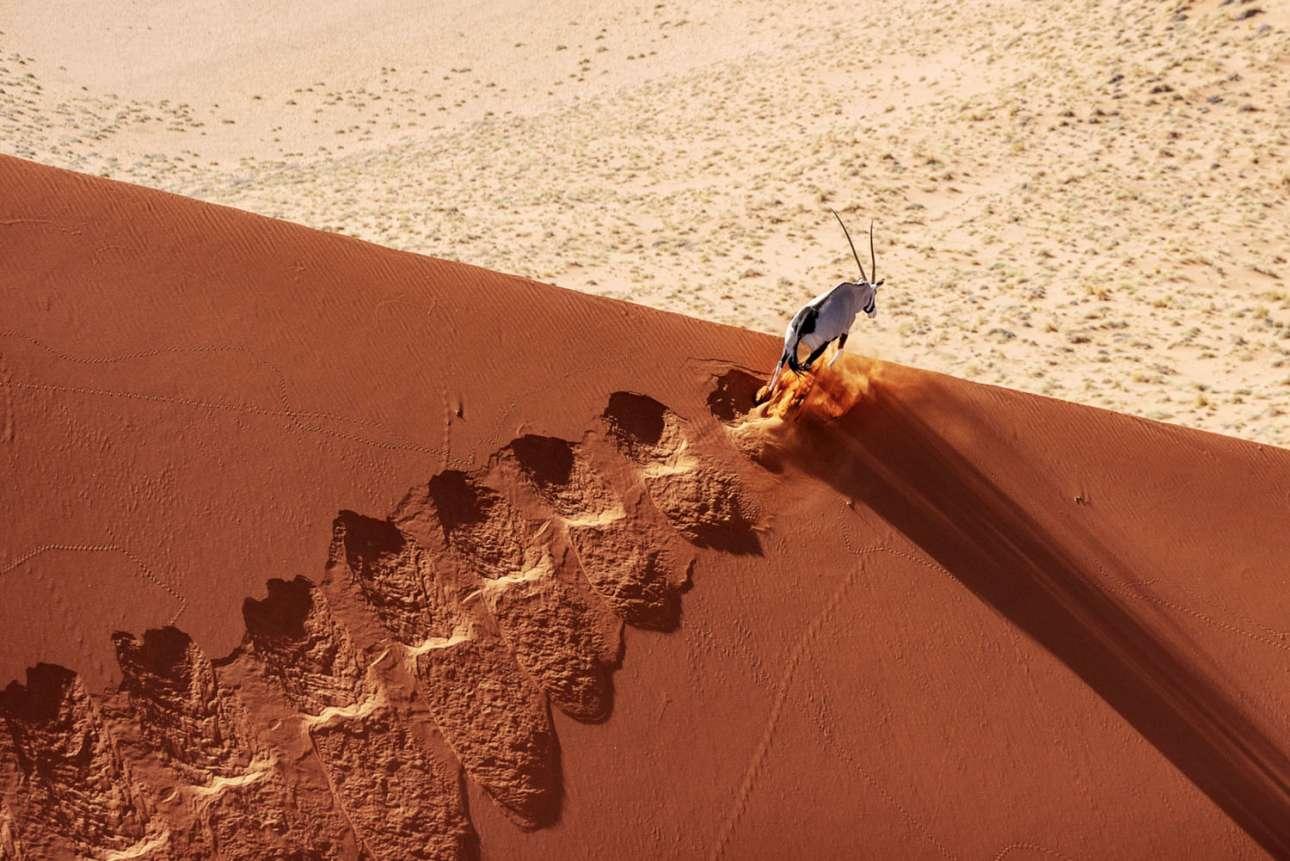 Φιναλίστ στην κατηγορία Επίγεια Αγρια Φύση. Στην έρημο Ναμίμπ, μία μεγάλη αντιλόπη τρέχει πάνω σε ένα κόκκινο αμμόλοφο. Παρ' όλο που η ανάβαση είναι πολύ κοπιαστική, ειδικά κάτω από τον καυτό ήλιο, στη ράχη του λόφου υπάρχει ανακούφιση...Εκεί η αντιλόπη θα βρει ένα δροσερό, υγρό αεράκι που έρχεται από τον κοντινό Ατλαντικό Ωκεανό. Με την απλή εισπνοή αυτού του ψυχρότερου αέρα, το ζώο θα μπορέσει να μειώσει τη θερμοκρασία του αίματος που προορίζεται για τον εγκέφαλό του, βοηθώντας το να αποφύγει την υπερθέρμανση σε αυτό το αδυσώπητο περιβάλλον