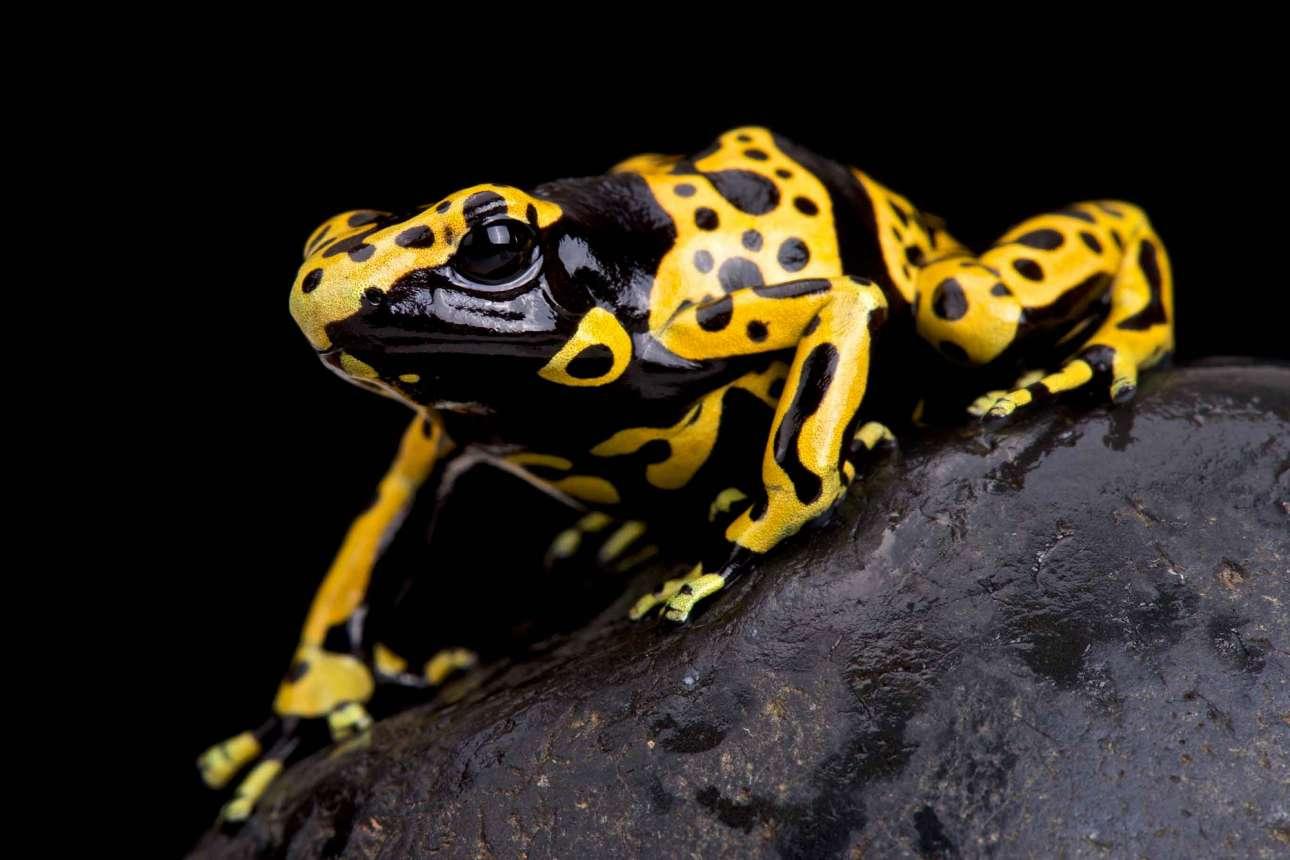 Μοιάζει με ποπ έργο τέχνης, αλλά είναι το δηλητηριώδες κιτρινόμαυρο βατράχι Dendrobates leucomelas