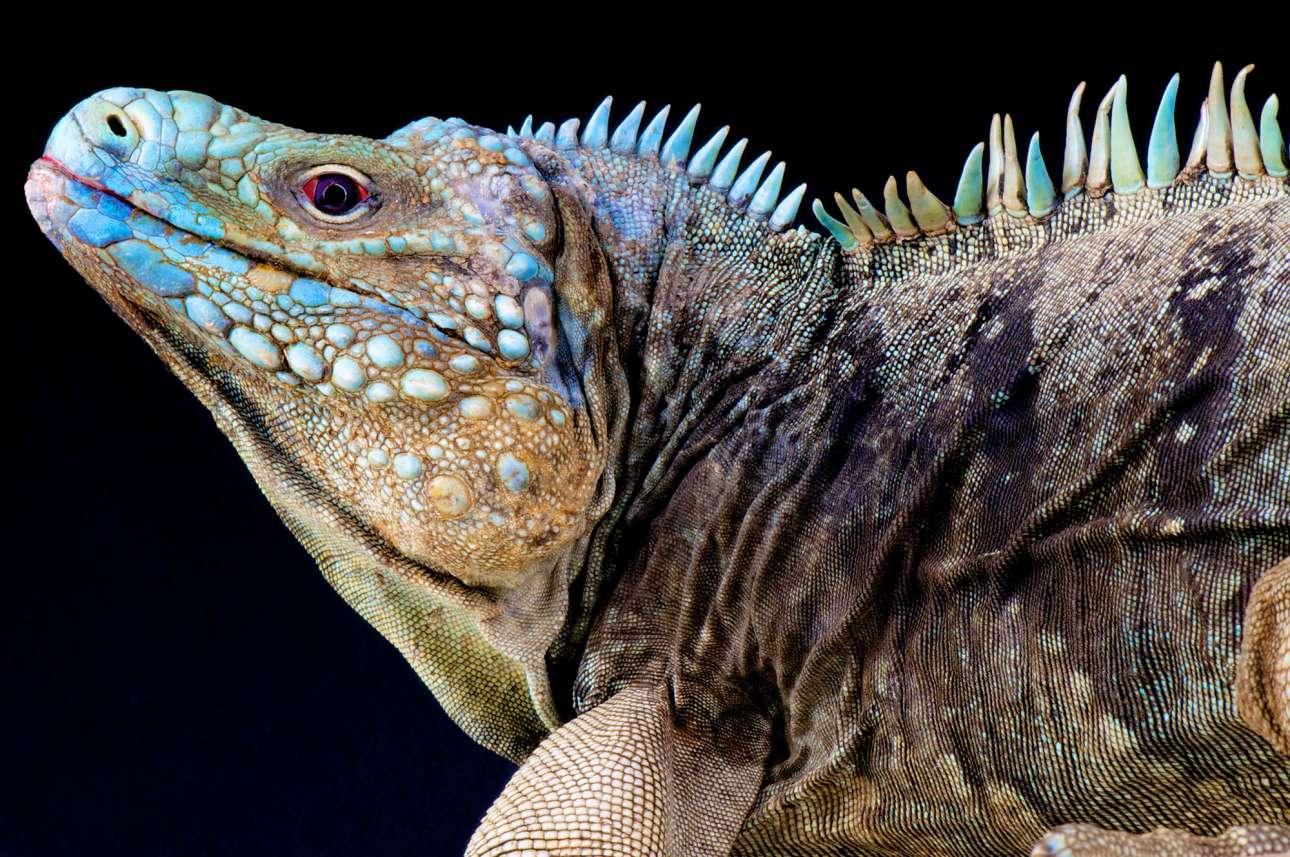 Το απειλούμενο με εξαφάνιση ιγκουάνα Cyclura lewisi