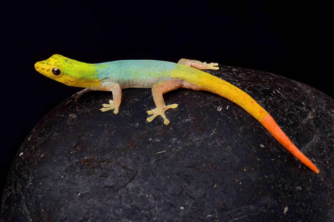 Το πολύχρωμο γκέκο (Lygodactylus conraui) από το Καμερούν, με δέρμα που μοιάζει σαν να είναι φτιαγμένο από πλουμιστές χάνδρες
