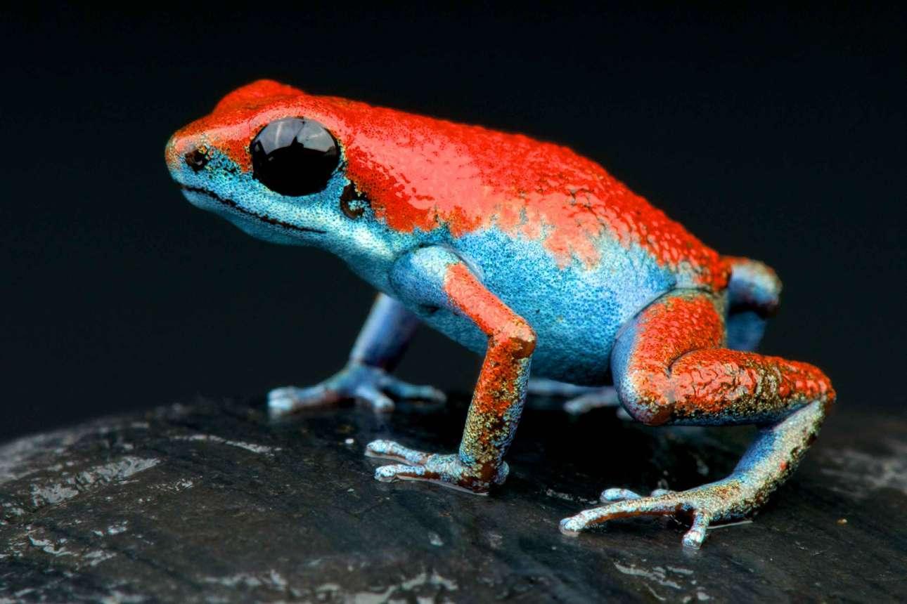 Ο δηλητηριώδες βάτραχος (Oophaga pumilio) με τα φανταχτερά χρώματα συναντάται κυρίως σε τροπικά δάση