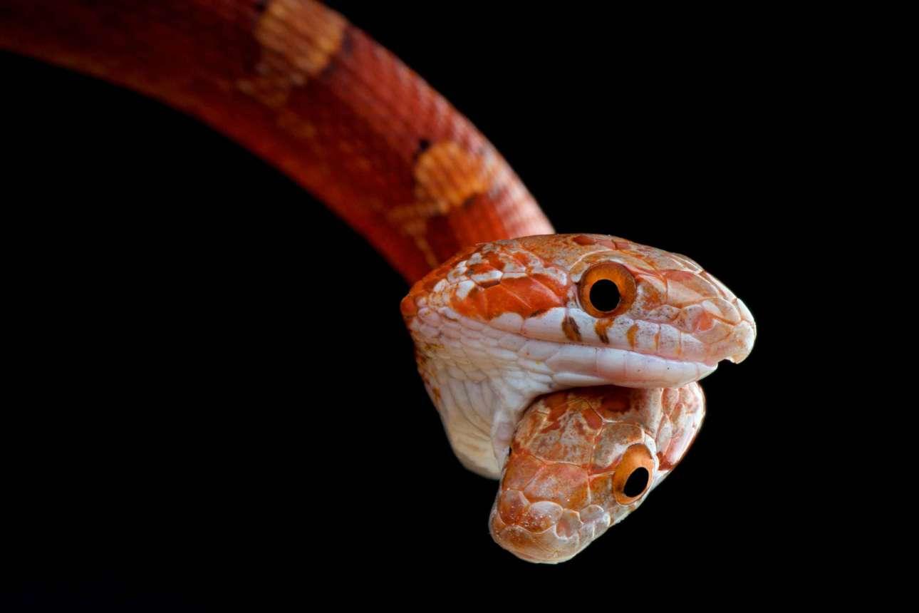 Τρομακτικό, αλλά αληθινό... το δικέφαλο φίδι Pantherophis guttatus