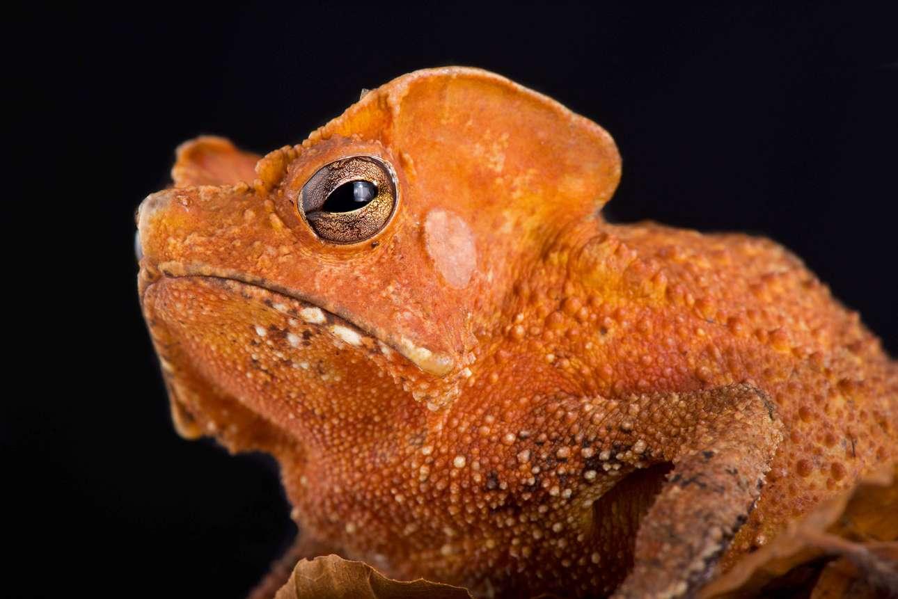 Ο σχεδόν εξωγήινος βάτραχος Rhinella lescurei