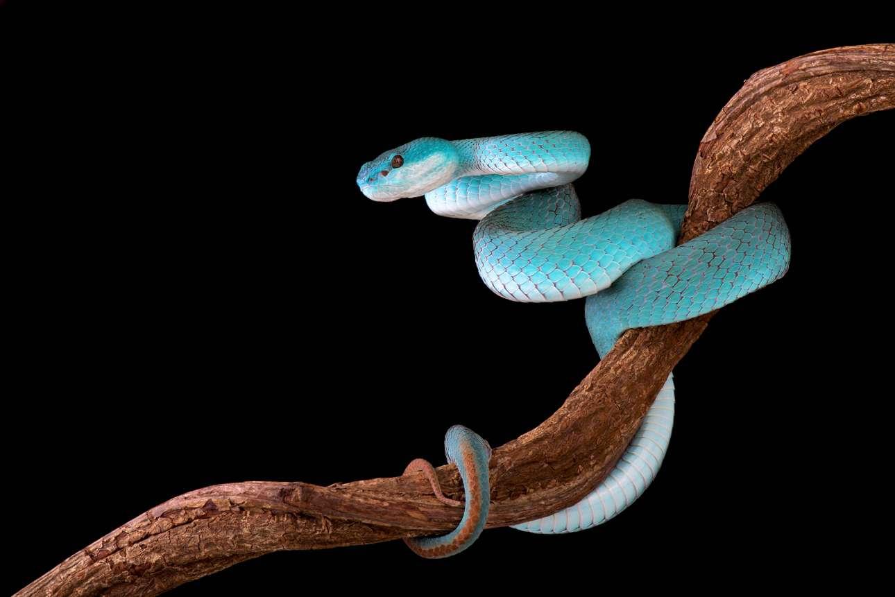 Η πανέμορφη, αλλά επικίνδυνη τιρκουάζ οχιά Trimeresurus albolabris insularis