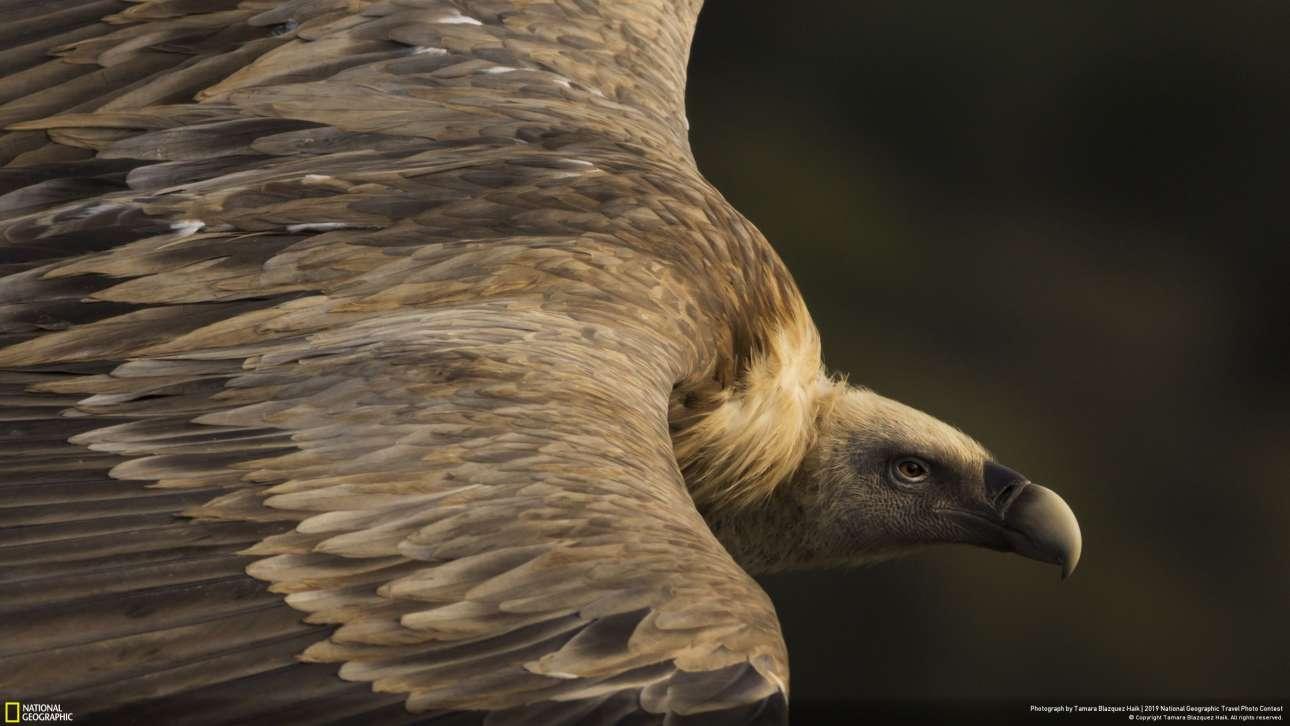 «Τρυφερό βλέμμα» είναι ο τίτλος της επόμενης εικόνας, από τη φωτογράφο Ταμάρα Μπλαζκέζ Χαΐκ, και πήρε το πρώτο βραβείο στην κατηγορία Φύση. Ενας πανέμορφος γυπαετός πετά στους αιθέρες στο Εθνικό Πάρκο της Ισπανίας Monfragüe. «Πώς μπορεί να λέει κανείς ότι τα αρπακτικά φέρνουν κακούς οιωνούς, όταν υπάρχει τόση τρυφερότητα σε αυτό το βλέμμα; Είναι πολύ σημαντικά κομμάτια του περιβάλλοντος καθώς φροντίζουν για την
