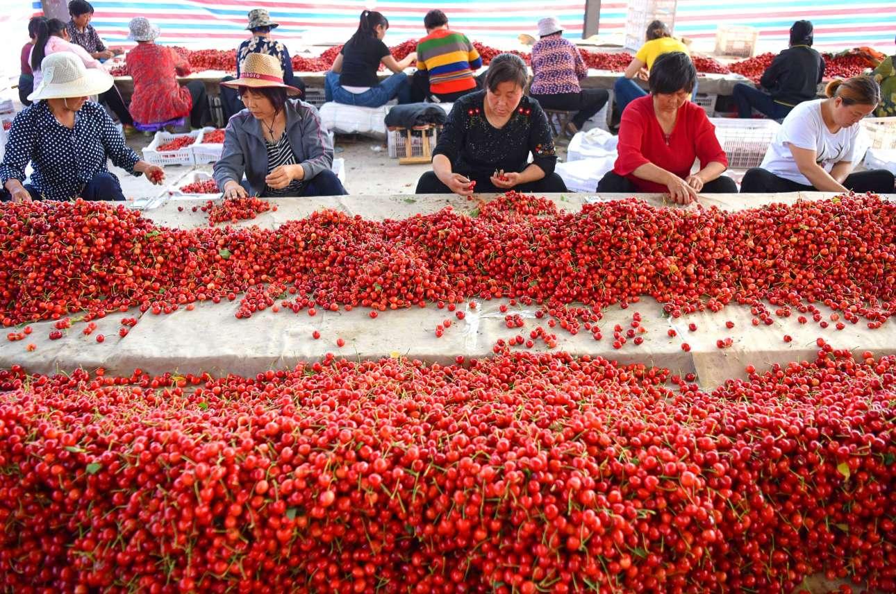 Εργάτες και εργάτριες ετοιμάζουν προς πώληση κεράσια σε αγορά της πόλης Τζιμπό, στην Κίνα