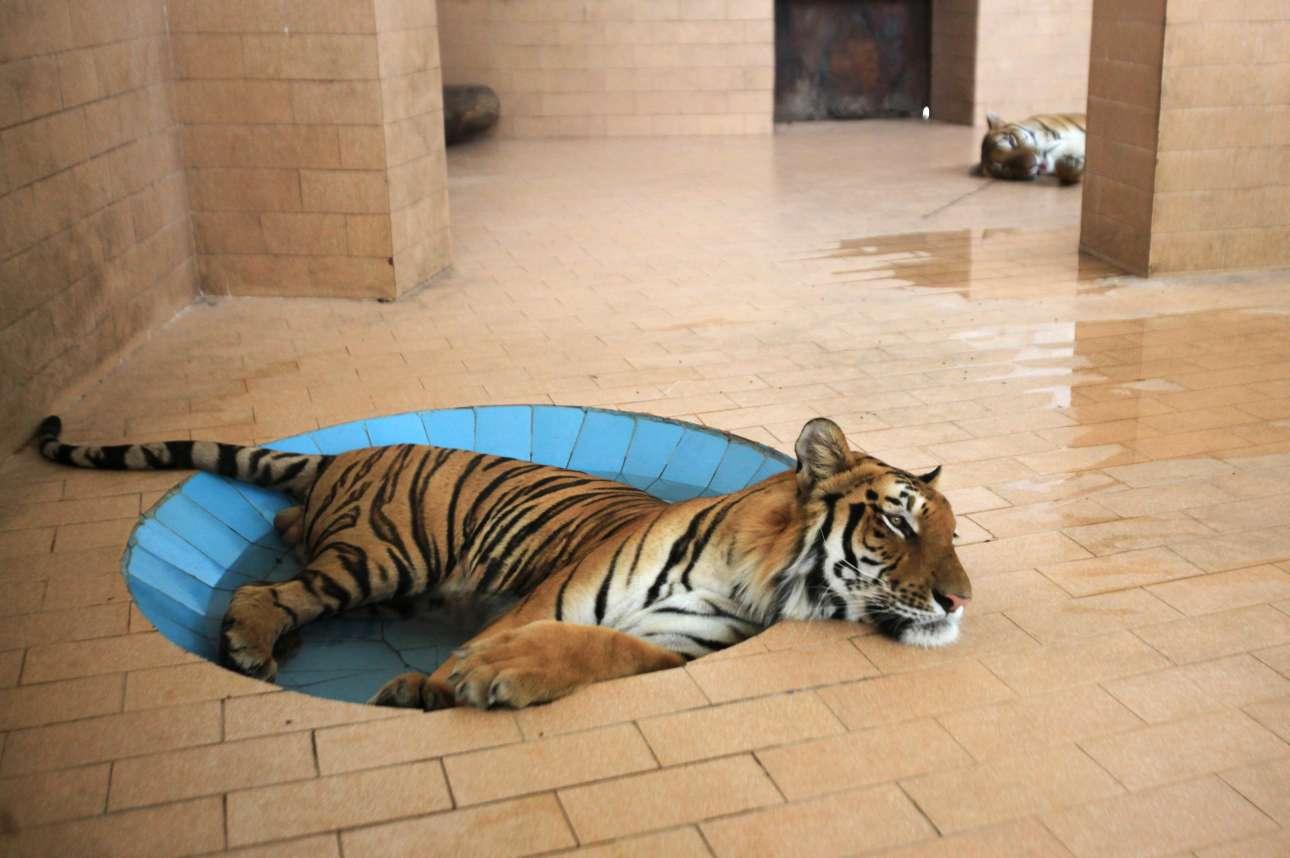 Τίγρης δροσίζεται σε πισίνα ζωολογικού κήπου στην πόλη Λαχώρη του Πακιστάν