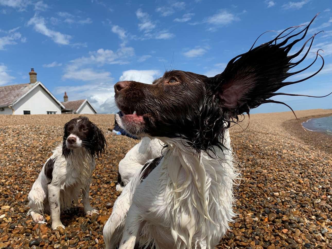 Παιχνίδια στην παραλία του Σάφολκ στη Βρετανία για αυτούς τους δύο σκύλους