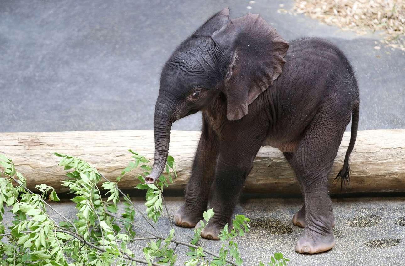 Ασταθές, παραπαίον, έκπληκτο: μωρό. Που λέτε, αυτό το πέντε ημερών ελεφαντάκι ρώτησε χθες τη μάνα του στον ζωολογικό κήπο της Βιέννης: «Και αυτό που κρέμεται εδώ μπροστά, μαμά, τι το κάνω;»