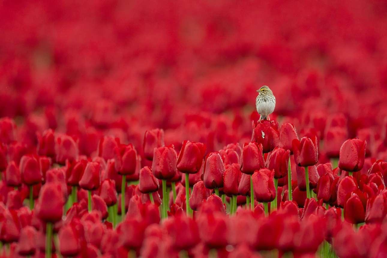 Σπουργίτι στέκεται μέσα σε ένα χωράφι από κατακόκκινες τουλίπες