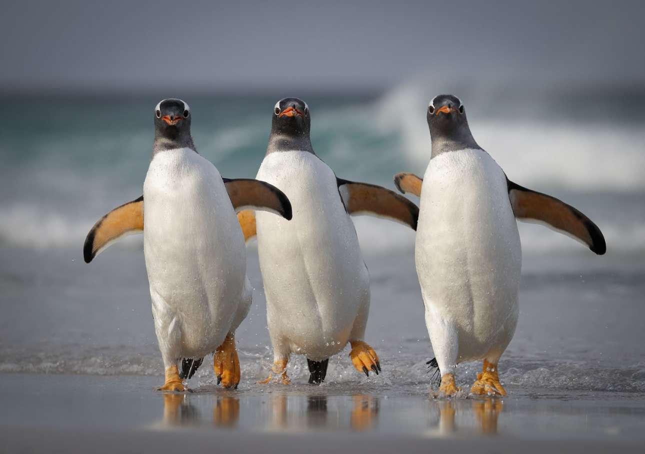 Μία χαρούμενη παρέα πιγκουίνων τζεντού στα νησιά Φόκλαντ