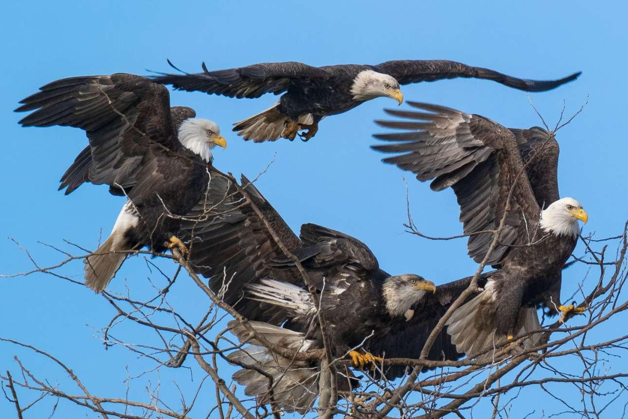Η συμμορία... των φαλακρών αετών ζει στη Βρετανική Κολομβία