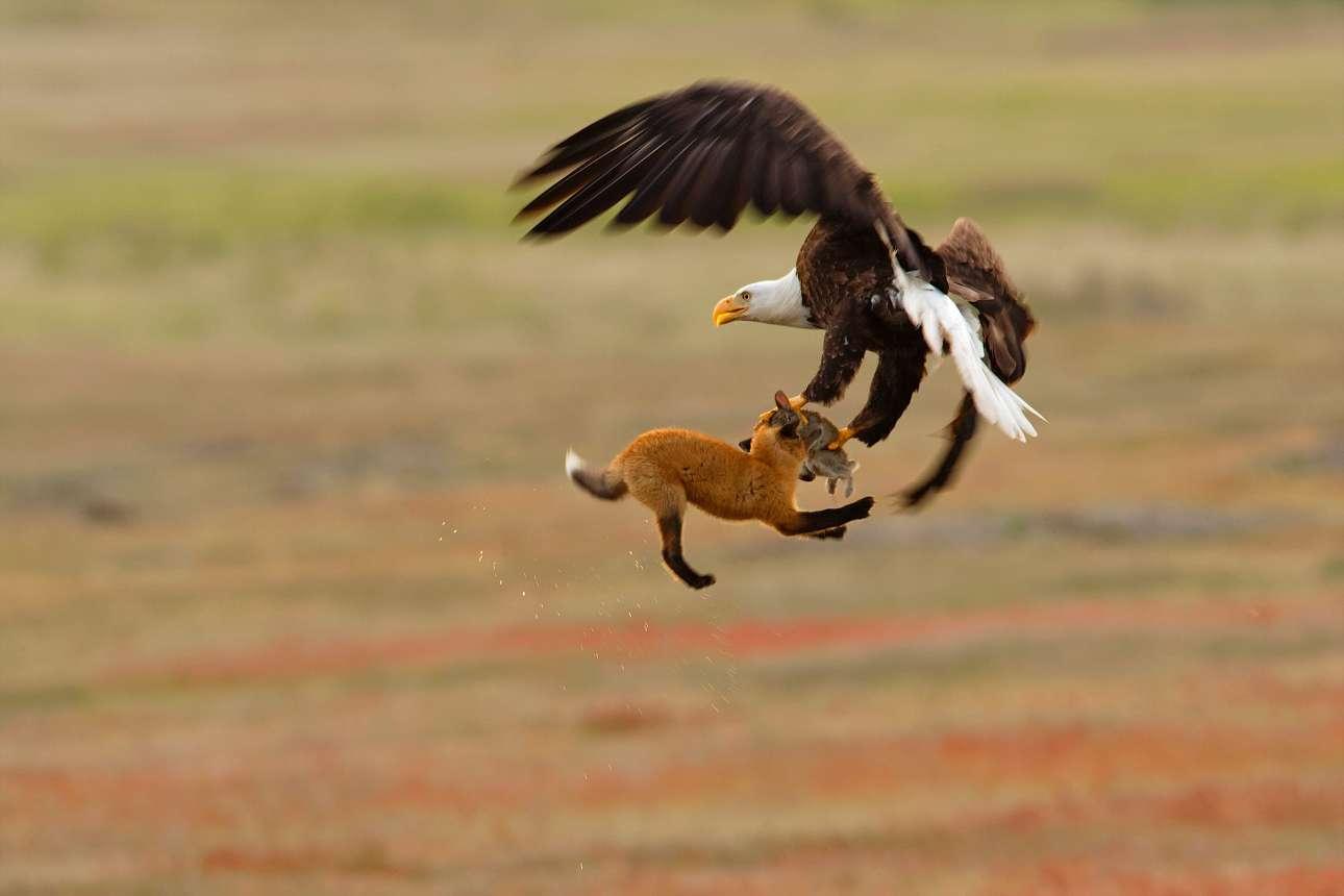 Ενας θαλασσαετός και μία κόκκινη αλεπού τσακώνονται για ένα κουνέλι, στο Ιστορικό Εθνικό Πάρκο Σαν Χουάν της Ουάσινγκτον. Οκτώ δευτερόλεπτα αργότερα ο αετός, απαλλαγμένος από την αλεπού, πέταξε μακριά μαζί με το θήραμά του