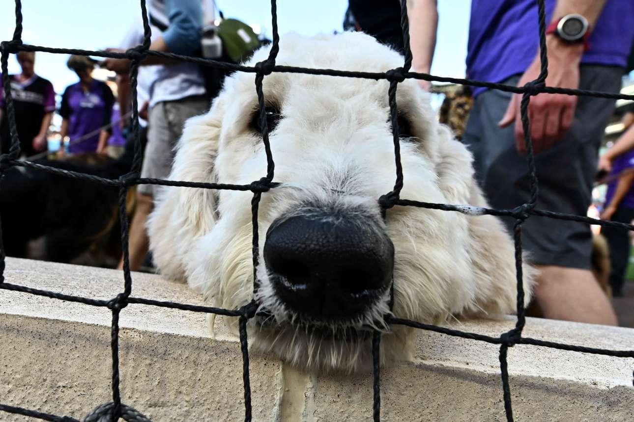 Χαριτωμένος σκύλος περιμένει τον αγώνα μπέιζμπολ μεταξύ Colorado Rockies και Arizona Diamondbacks στο στάδιο Coors Field (Ντένβερ, Κολοράντο, ΗΠΑ)