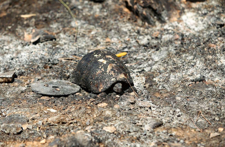 Συνηθίζουμε να μιλάμε μόνο για ανθρώπινες απώλειες και υλικές ζημιές. Τα αθώα θύματα της πυρκαγιάς όμως είναι τα ζώα του βουνού, όπως η άτυχη χελώνα της φωτογραφίας