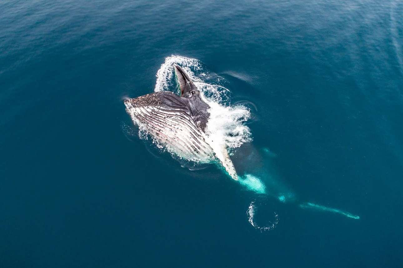 Ωρα φαγητού για μία μεγάπτερη φάλαινα στην Ανταρκτική