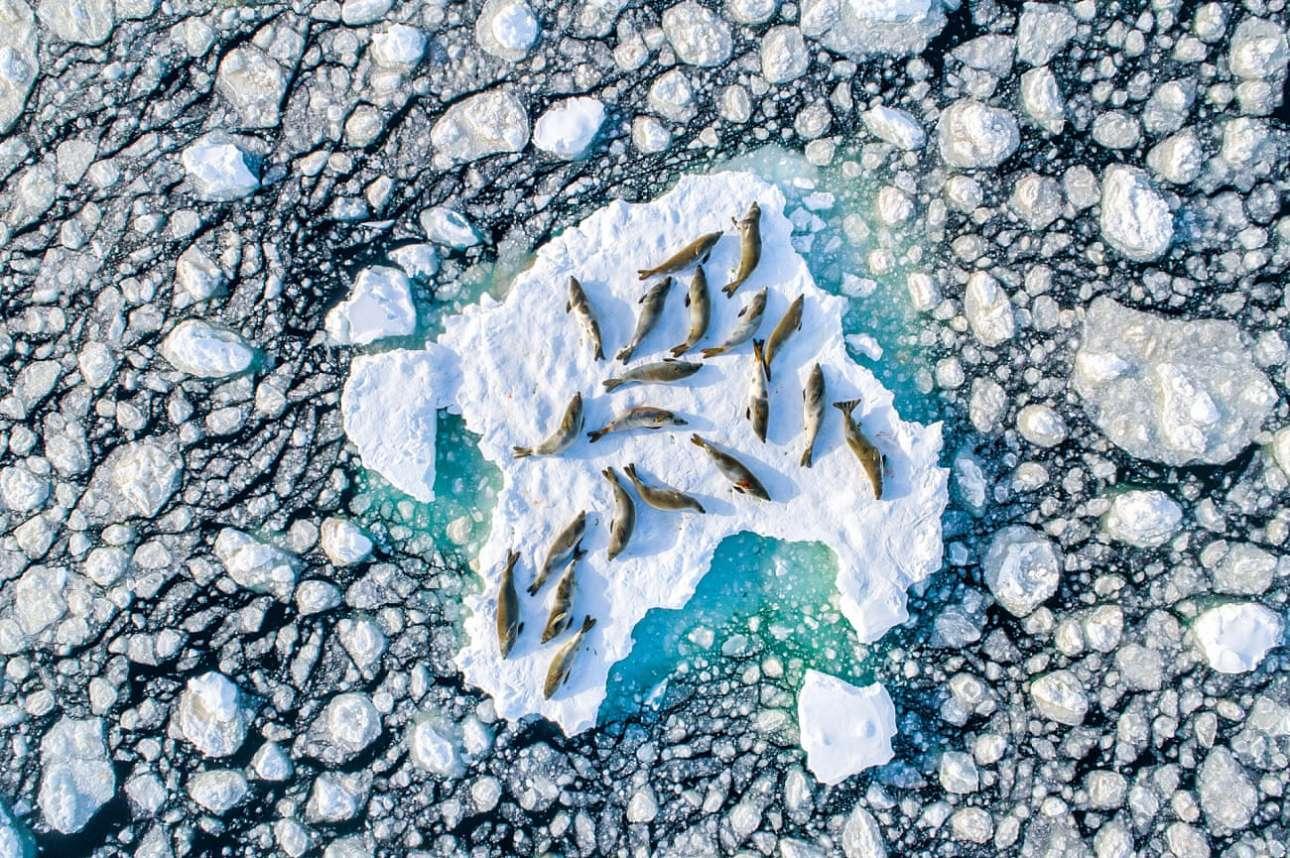 Φώκιες κάνουν διάλειμμα από την αναζήτηση τροφής και ξαποσταίνουν πάνω σε σπασμένους πάγους. Είναι άνοιξη και -όπως φαίνεται και στη φωτογραφία- δεν έχουν απομείνει πολλά μεγάλα παγόβουνα στην Ανταρκτική