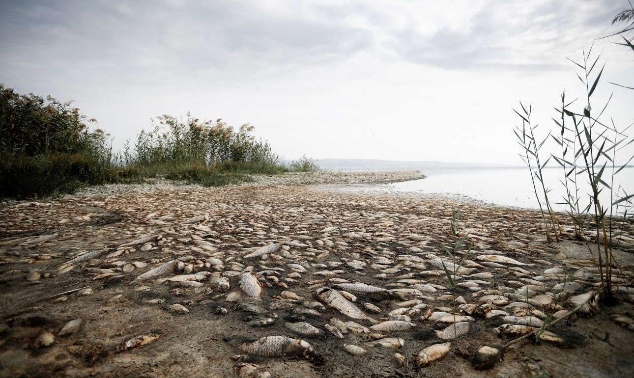 Χιλιάδες ψάρια, κυρίως μεγάλα γριβάδια και πεταλούδες, εκβράστηκαν νεκρά, τις τελευταίες ημέρες, γύρω από τη λίμνη Κορώνεια, κοντά στη Θεσσαλονίκη, όπου η στάθμη του νερού έχει κατέβει πλέον δραματικά, φτάνοντας στα μεγάλα βάθη μόλις στα 60 με 80 εκατοστά