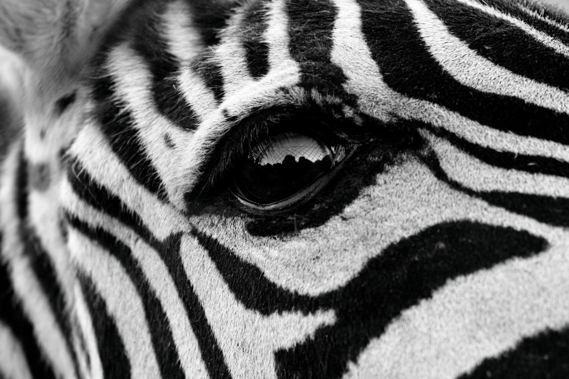 Κοντινό σε μια πανέμορφη ζέβρα σε πάρκο σαφάρι της Μαδρίτης, στη φωτογραφία με τίτλο «Oeil de zèbre» («Το μάτι της zέβρας»)