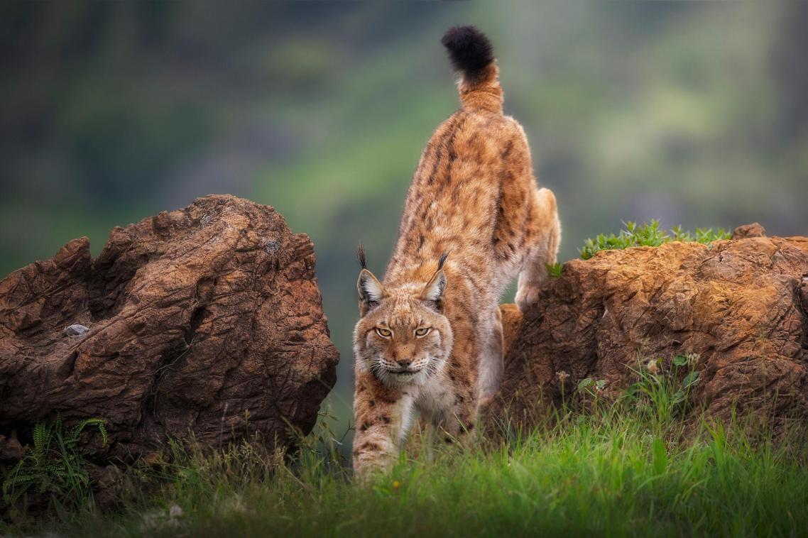 Λύγκας στο Εθνικό Πάρκο Cábarceno της Ισπανίας. Ο ιβηρικός λύγκας ήταν στα πρόθυρα της εξαφάνισης στη αρχή του 21ου αιώνα. Πλέον υπάρχουν πάνω από 400 άγριοι λύγκες στην ιβηρική χερσόνησο χάρη στα μέτρα προστασίας