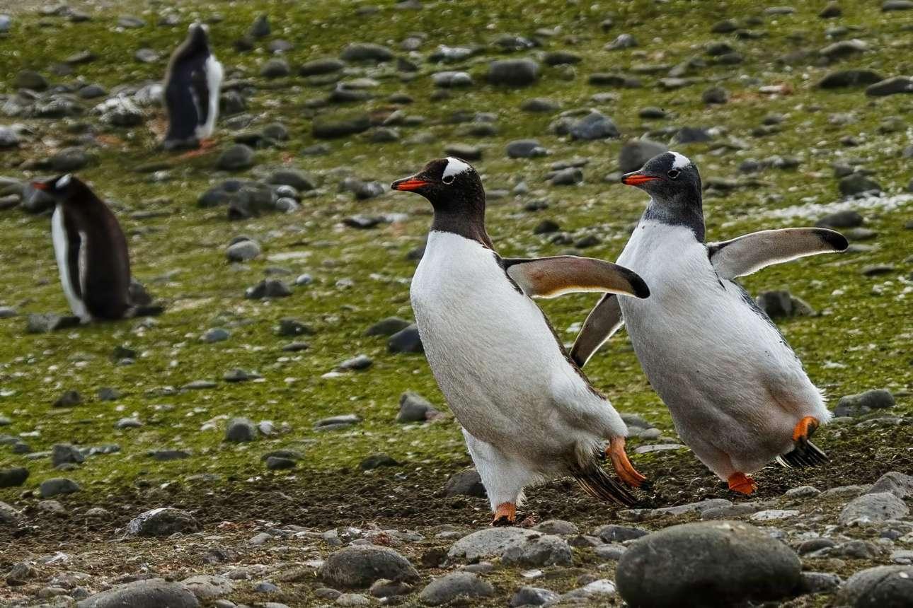 Ζευγάρι πιγκουίνων προπονείται στο καλλιτεχνικό πατινάζ