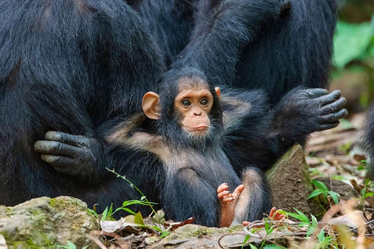 Η ζωή είναι ωραία...και χαλαρή για τον δέκα μηνών χιμπατζή, στο Εθνικό Πάρκο Stream της Τανζανίας