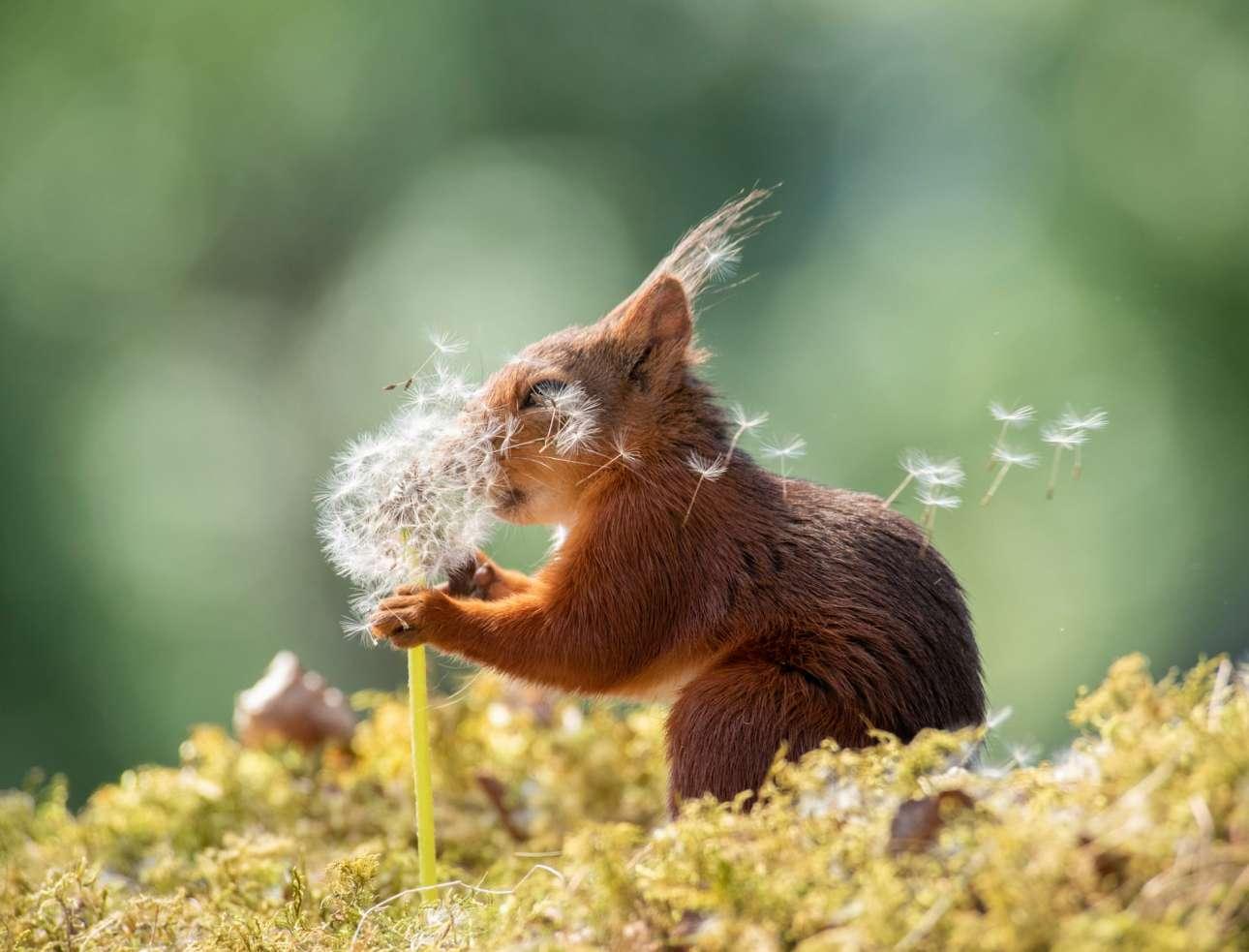 Ο κόκκινος σκίουρος παίζει με μια πικραλίδα