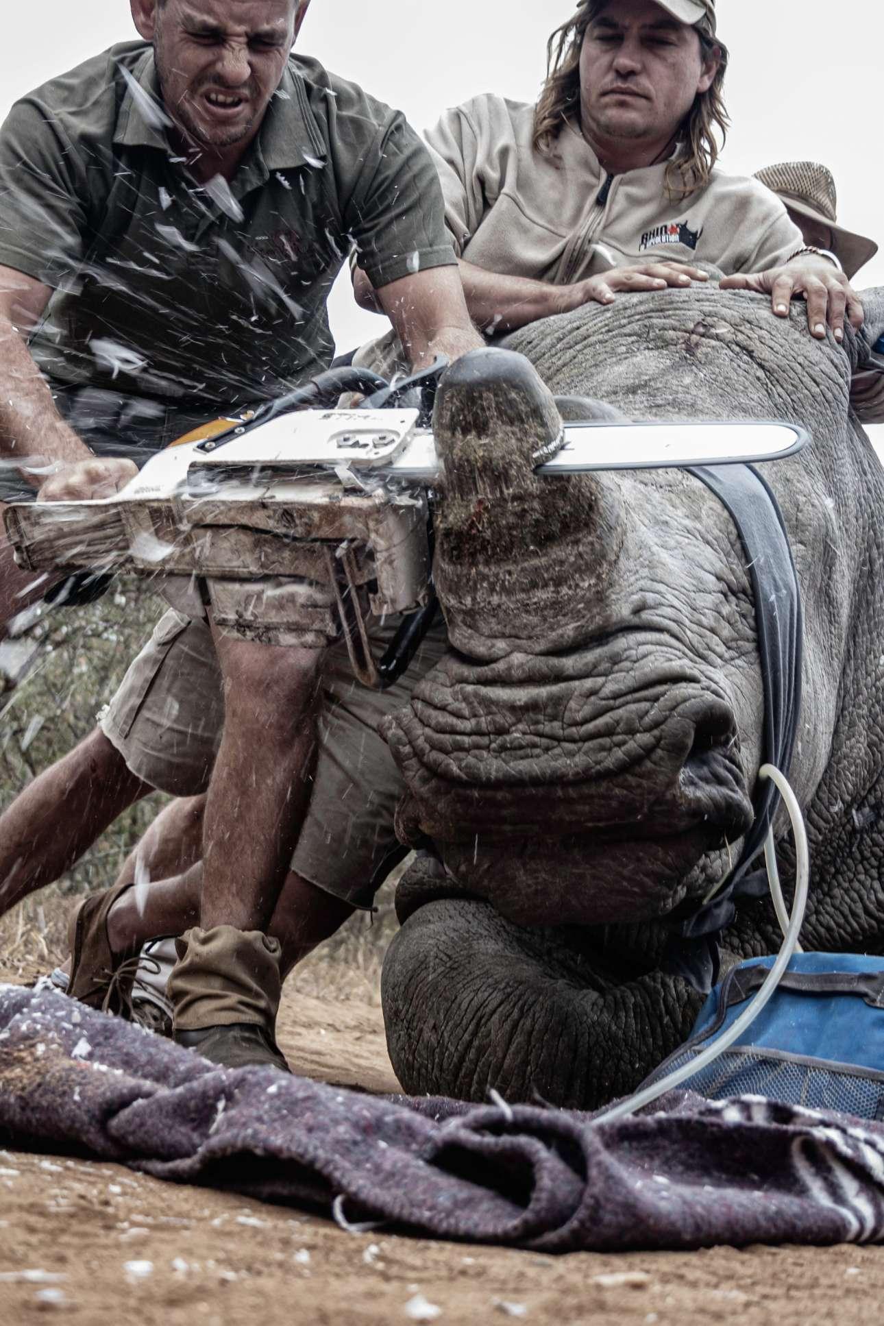 Νεαρός Φωτογράφος Περιβάλλοντος της Χρονιάς: δύο άνδρες κόβουν το κέρατο ρινόκερου στη Νότια Αφρική, προκειμένου να μην πέσει θύμα λαθροκυνηγών. Τα επίπεδα λαθροθηρίας είναι τόσο υψηλά που οι ειδικοί συστήνουν την αφαίρεση του κεράτου κάθε 12-14 μήνες, ώστε να αποτρέπονται αποτελεσματικά οι λαθροκυνηγοί
