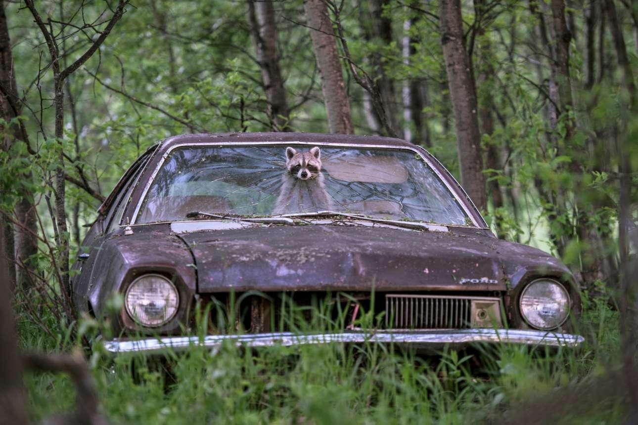 Ενα ρακούν ξεπροβάλλει από το σπασμένο παρμπρίζ της Ford Pinto του 70, σε μια παρατημένη φάρμα στον Καναδά. Το χαριτωμένο ζώο ελέγχει τον χώρο πριν βγει για να περάσει τη νύχτα ψάχνωντας γα φαγητό, καθώς έχει να ταίσει τα πέντε μικρά της πο βρίσκονται στο πίσω κάθισμα