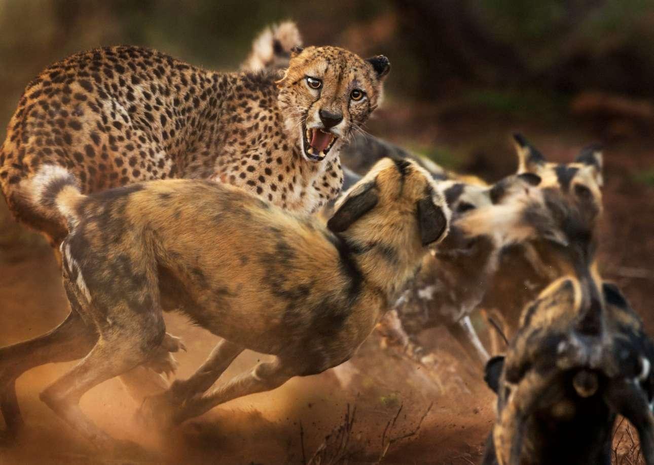Ενα μοναχικό αρσενικό τσίτα δέχεται επίθεση από μια αγέλη άγριων αφρικανικών σκύλων στο Καταφύγιο Zimanga, στη νότια Αφρική. Ο φωτογράφος εστιάζει στο πρόσωπο του τσίτα, το οποίο στο τέλος καταφέρνει να ξεφύγει από την άγρια συμμορία