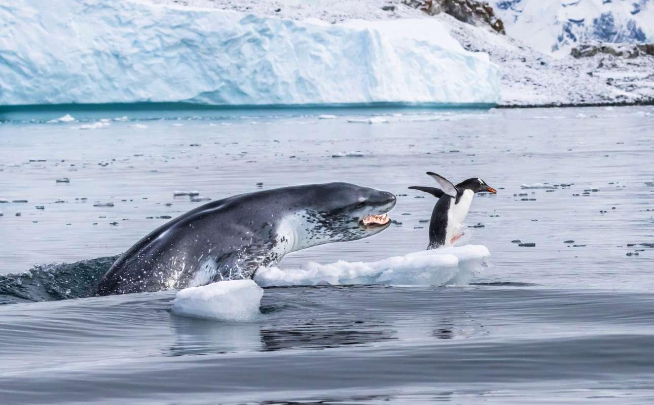 Ενας πιγκουίνος τζεντού -ο πιο γρήγορος υποβρύχιος κολυμβητής όλων των πιγκουίνων- τρέχει να σωθεί από τα κοφτερά σαγόνια της φώκιας-λεοπάρδαλης που μόλις ξεπήδησε από το νερό. Οι φώκιες - λεοπάρδαλεις είναι τρομεροί κυνηγοί: το μήκος τους φτάνει τα 3,5 μέτρα, ζυγίζουν περίπου 500 κιλά, έχουν κοφτερούς κυνόδοντες και η λεπτή κατασκευή τους είναι φτιαγμένη για ταχύτητα