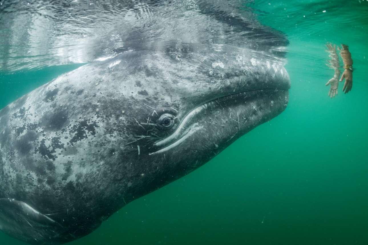 Με περιέργεια κοιτάζει η γκρίζα φάλαινα της φωτογραφίας τα δύο χέρια που την πλησιάζουν, τα οποία προέρχονται από ένα τουριστικό σκάφος, στη λίμνη Σαν Ιγκνάθιο του Μεξικού. Οι μητέρες γκρίζες φάλαινες και τα μωρά τους αναζητούν την επαφή με ανθρώπους, ώστε να τους τρίψουν την πλάτη ή  το κεφάλι