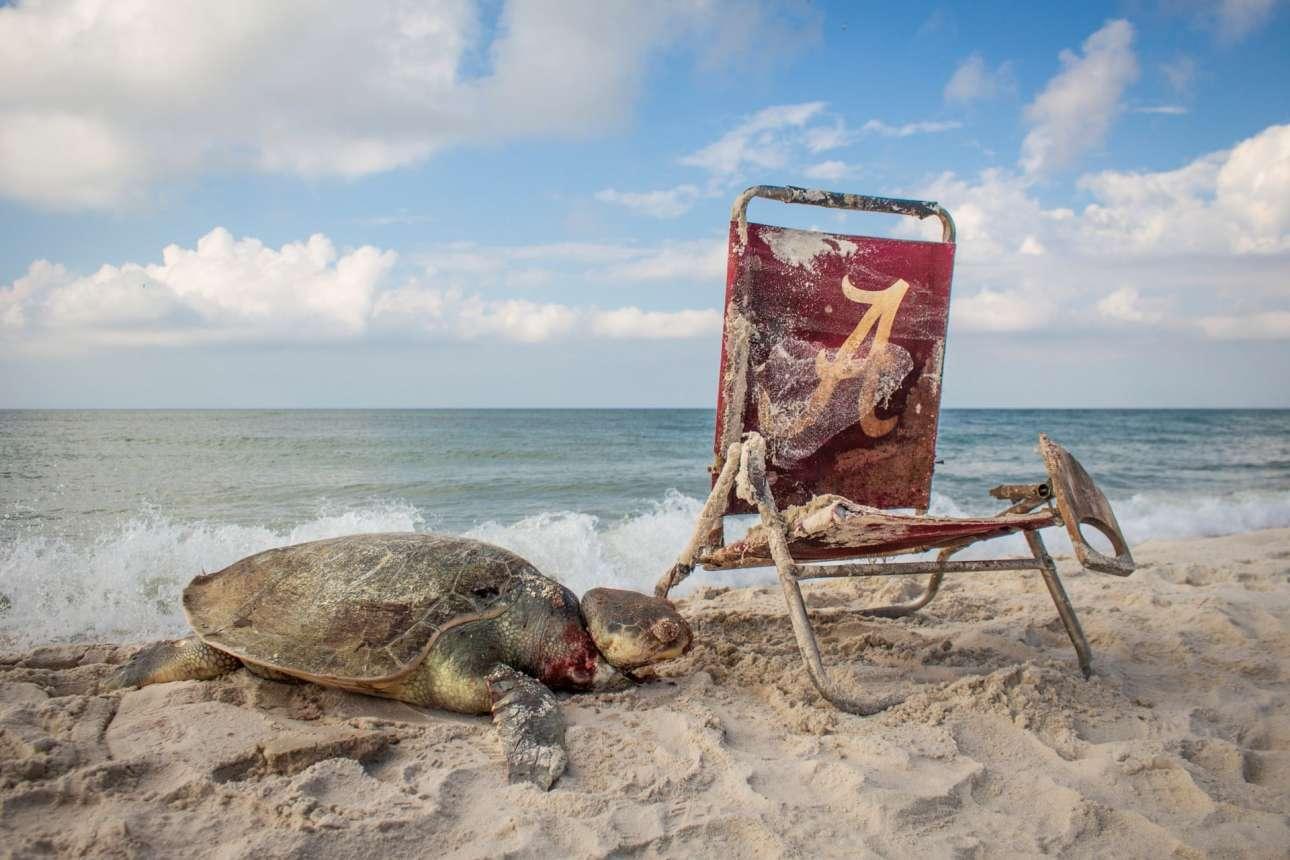 Χελώνα βρισκει τον θάνατο στην παραλία του Εθνικού Κατφυγίου Αγριας Ζωής στην Αλαμπάμα, καθώς έχει τυλιχτεί με σκοινί σε μία καρέκλα που ξέβρασε το κύμα. Οι θαλάσσιες χελώνες Kemp's Ridley δεν είναι μόνο το μικρότερο είδος - με το μήκος τους να φτάνει τα 65 εκατοστά- αλλά και το πιο απειλούμενο
