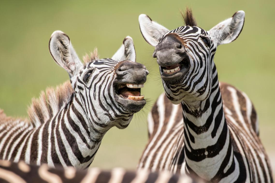 Δυο ζέβρες σκάνε στα γέλια στην περιοχή του κρατήρα του Ngorongoro, στη Τανζανία
