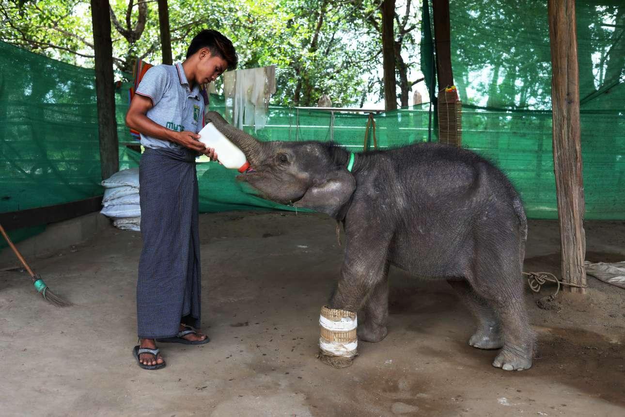 Τραυματισμένο ασιατικό ελεφαντάκι, με νάρθηκα από μπαμπού στο πόδι του, απολαμβάνει γάλα από μπιμπερό και από ανθρώπινο χέρι - ορφανό κατά τα φαινόμενα το ζώο, ωστόσο τυχερό