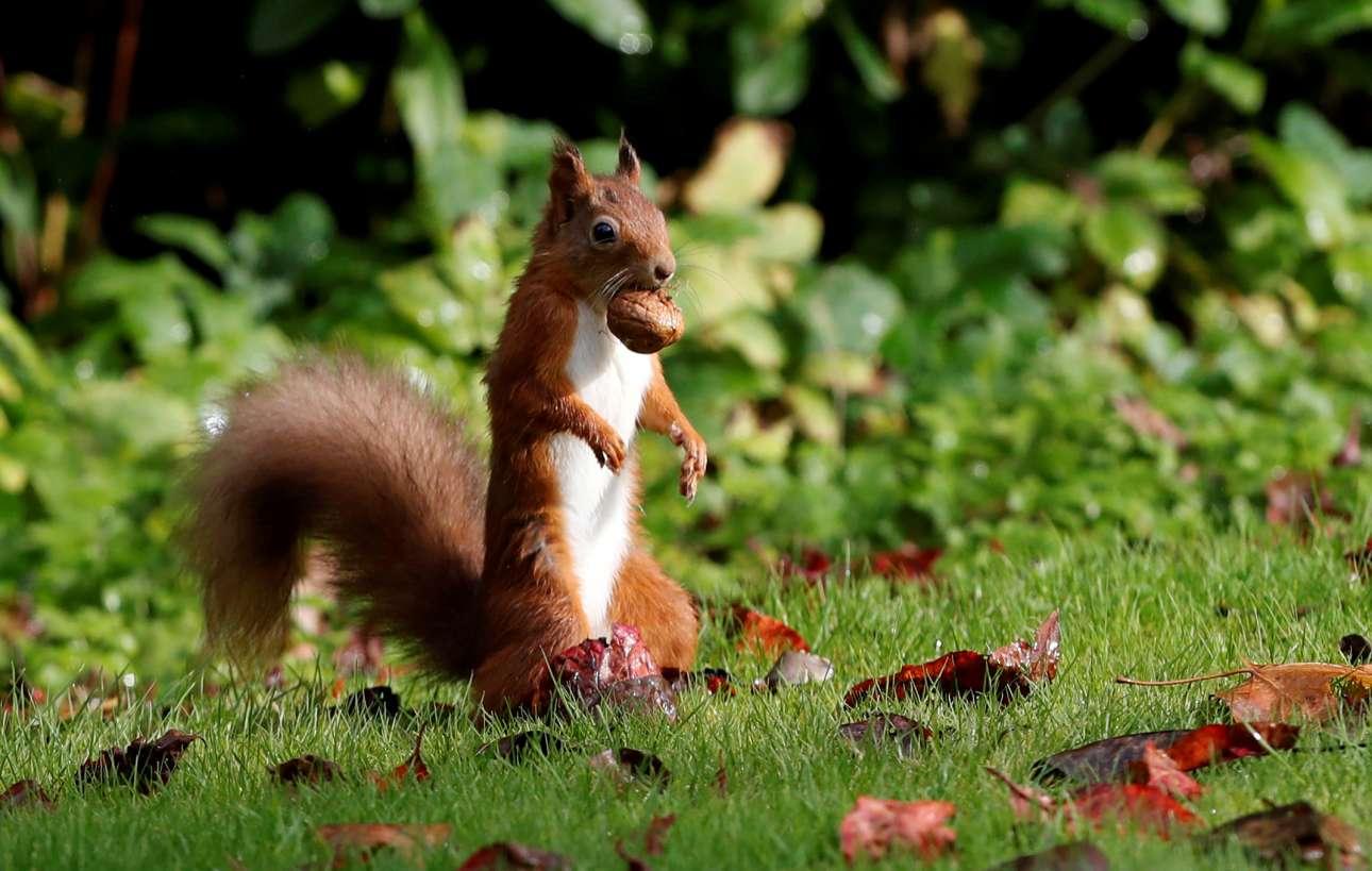 Κόκκινος σκίουρος, χρυσαφένιο καρύδι: δηλαδή ό,τι είναι ο Μάρτης και Σαρακοστή του, αλλά μέσα στο βρετανικό φθινόπωρο