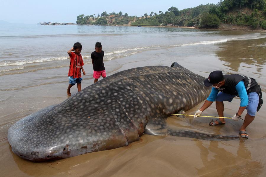 Φαλαινοειδής καρχαρίας, βραδύς κολυμβητής του βυθού, ψόφιος - του παίρνουν στην κυριολεξία τα μέτρα σε μία παραλία της Σουμάτρας, στην Ινδονησία
