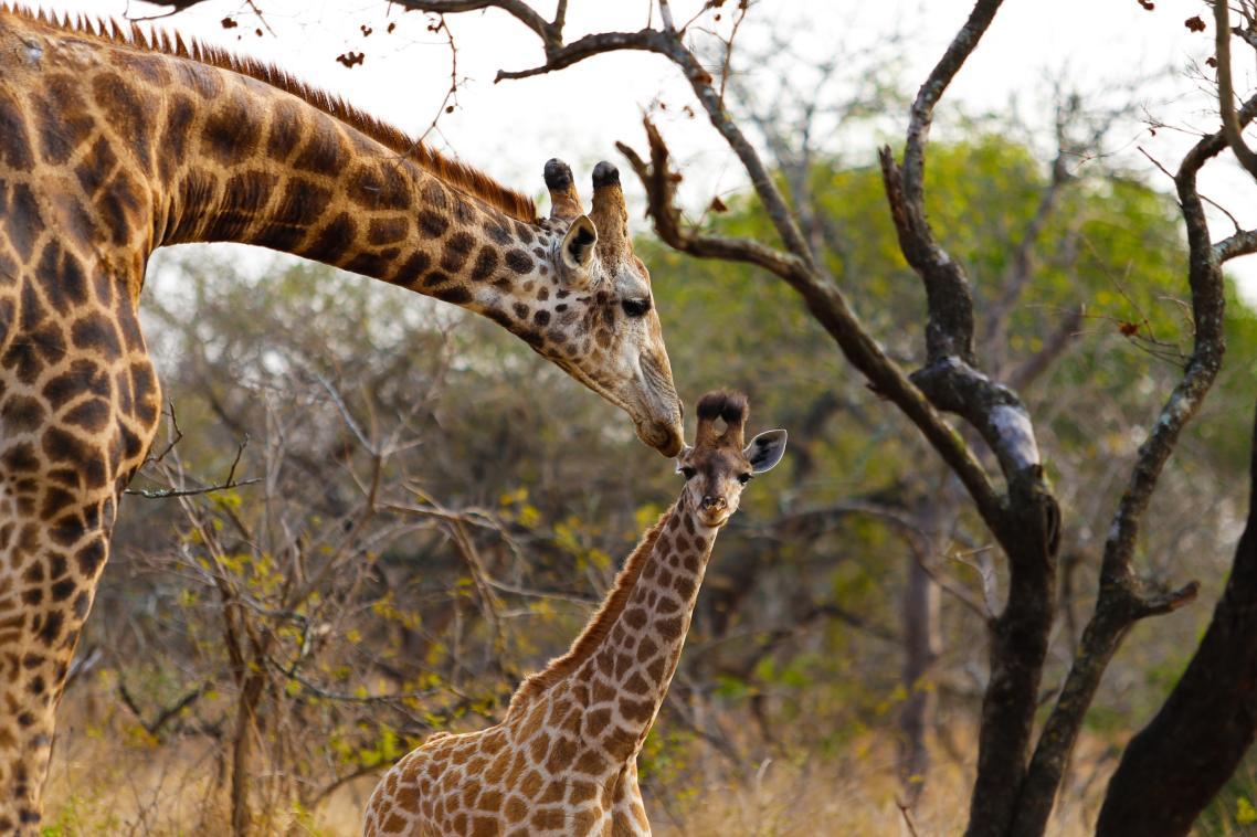 Μαμά καμηλοπάρδαλις με το μωρό της στο πάρκο άγριας ζωής ουΜκχούζε στη Νότια Αφρική