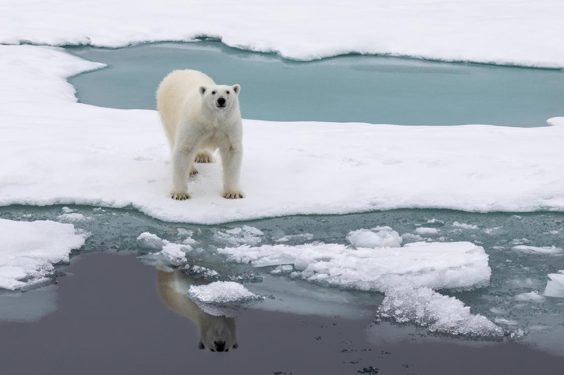 Λευκή αρκούδα στους πάγους του νορβηγικού νησιού Σπιτσμπέργκεν στο αρχιπέλαγος Σβάλμπαρντ όπου ζουν 3.000 αρκούδες. Ο πληθυσμός τους είναι μεγαλύτερος των ανθρώπων που κατοικούν στο νησί