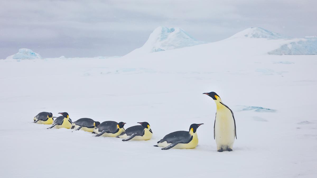 Αυτοκρατορικοί πιγκουίνοι στο Σνόου Χιλ Αϊλαντ, νησί της Ανταρκτικής, που φιλοξενεί μια αποικία περίπου 4.000 ζευγαριών για αναπαραγωγή, όπου η πρόσβαση είναι αδύνατη σε συγκεκριμένες εποχές του χρόνου λόγω του πάγου